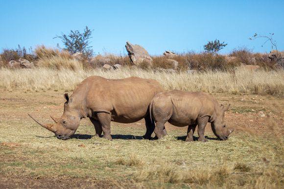 Africa big five, Rhino