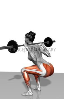 The muscles involved in barbell squat exercises. The agonist (active) muscles of this exercise are highlighted.