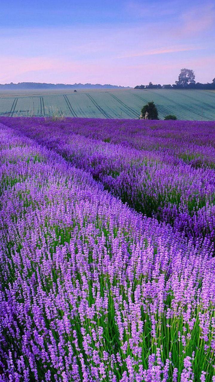 Lavender fields, England                                                                                                                                                     Mais