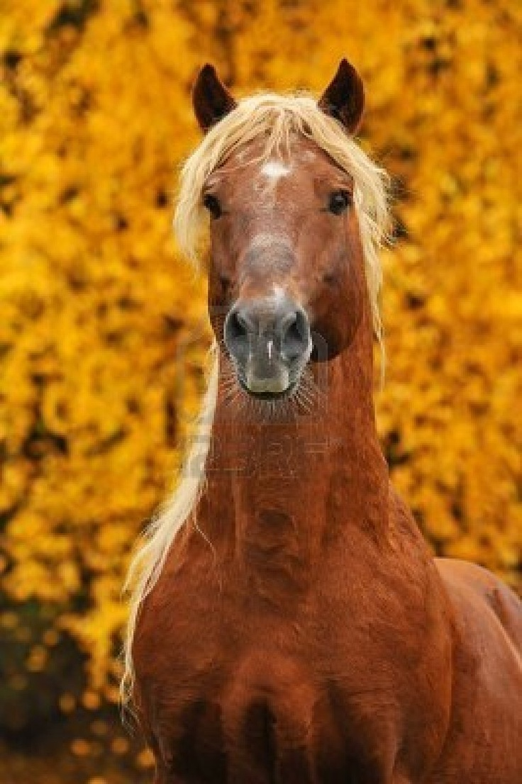 1000+ images about Chestnut Horses on Pinterest - photo#47