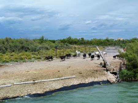 Bulls and horses in Camargue, France