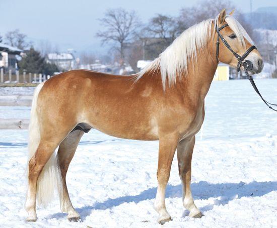 Acropolis - Haflinger stallion