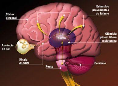 Glándula pineal o tercer ojo. La glándula pineal es una pequeña glándula endocrina que se encuentra en tu cerebro produciendo melatonina. Además de las ...