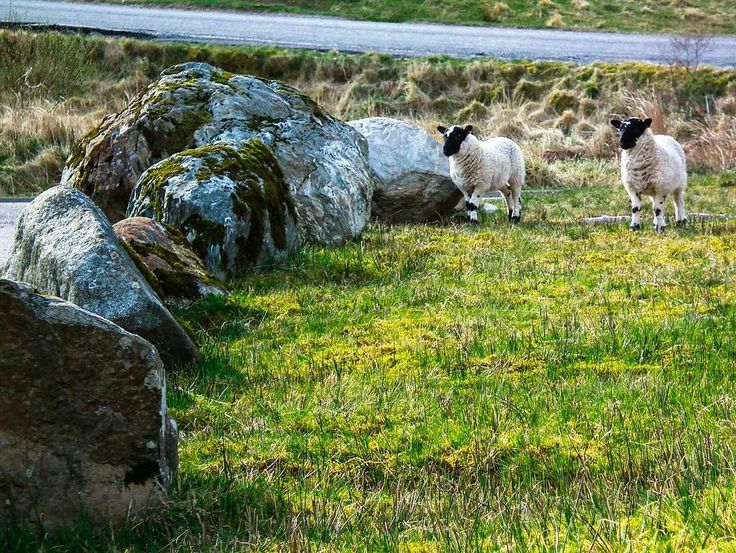 Exploring  the Argyll Forest Narional Park and wandered  across  these beautiful  creatures.  #uk #scotland #argyll #nationalpark #visitscotland #loves_scotland #instascotland #europetrip #travel #explore #adventure #hiking #holiday #beautiful #lovescotland #insta_scotland #countryside #landscape #mountain #britan #travel #igscotland #earth #planetearth #adventureculture #instagood #picoftheday #nofilter #allnatureshots #sheep