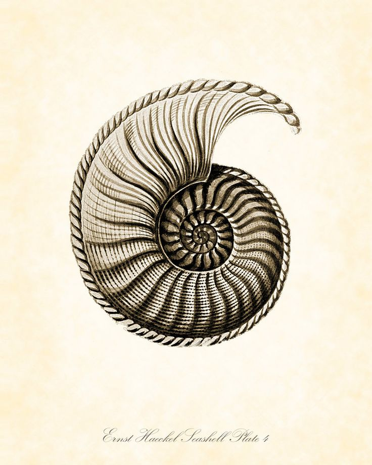 Vintage Ernst Haeckel Seashell Series Sepia Tint  Plate 4 Natural History Art Print 8 x 10. $10.00, via Etsy.