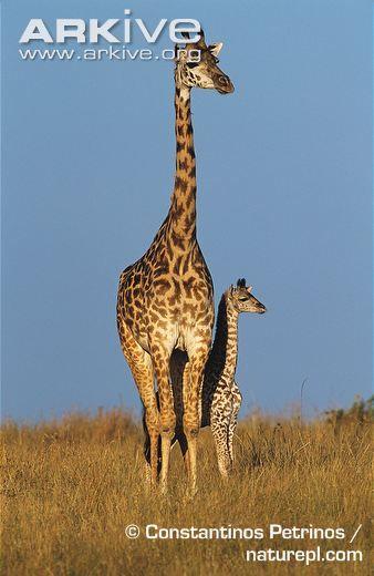 Giraffe, Giraffa camelopardalis (Artiodactyla, Giraffidae)