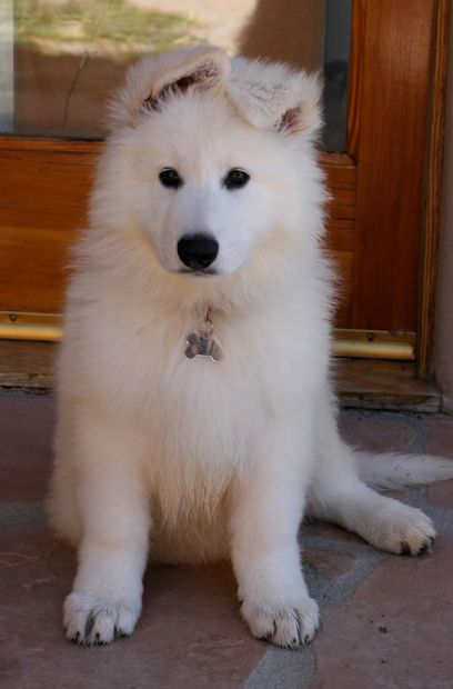 Dances with Wolves Ranch - The Home of Berger Blanc Suisse from Imported World Champion Lines