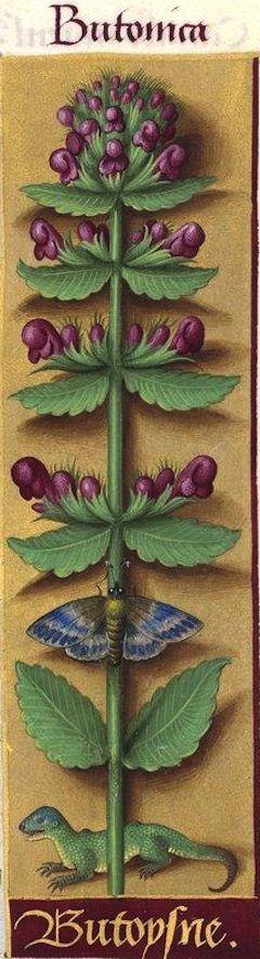 Butoysne - Butonica (Betonica officinalis L. = bétoine) -- Grandes Heures d'Anne de Bretagne, BNF, Ms Latin 9474, 1503-1508, f°90r