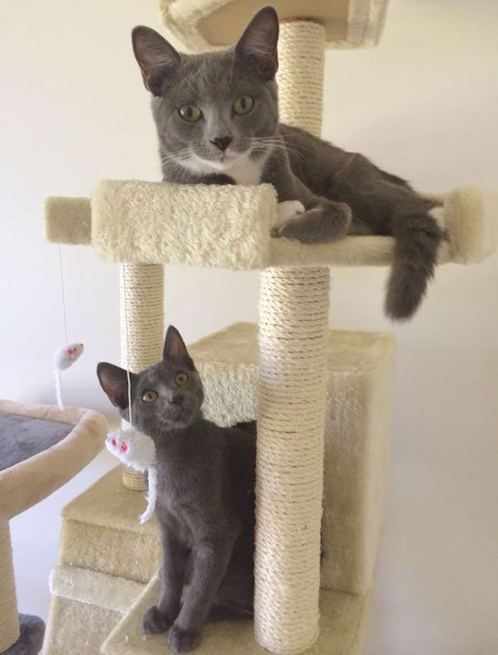 Every day millions of people around the world save kitties from abandonment, shelters, or the street. Occasionally, a cat can pay it forward.  This one woman rescued two cats. She had no idea what two cats would be capable of. In the end, they were also able to rescue her.  Two gray, but very fu