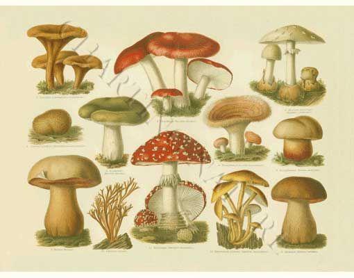 'Poisonous Mushrooms' restored antique mushroom illustration - via Charting Nature