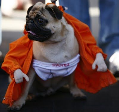 """Attn: ALL PUG BREED OWNERS AND LOVERS -  It is Friday and it's time to GET PUGGED by the """"Flasher"""" Pug!!  LOL!"""