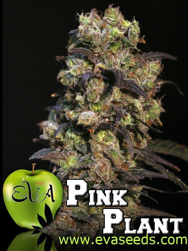 Pink Plant Feminised Seeds by the cannabis breeder Eva Seeds, is a Photoperiod Feminised marijuana strain.This Mostly Sativa strain produces a Medium, High Indoors: 40 to 70 g & Outdoors: 1 and 2 kg yield. These seeds finish in 55-60 days in from start to mid October.This Feminised seed grows well in Indoors, Outdoors conditions. Additionally it can be expected to grow into a Medium, Tall plant reaching Indoors: 80- 100 cm & Outdoors: 2 to 4 meters.This strain has TNT Kush x High Lev...