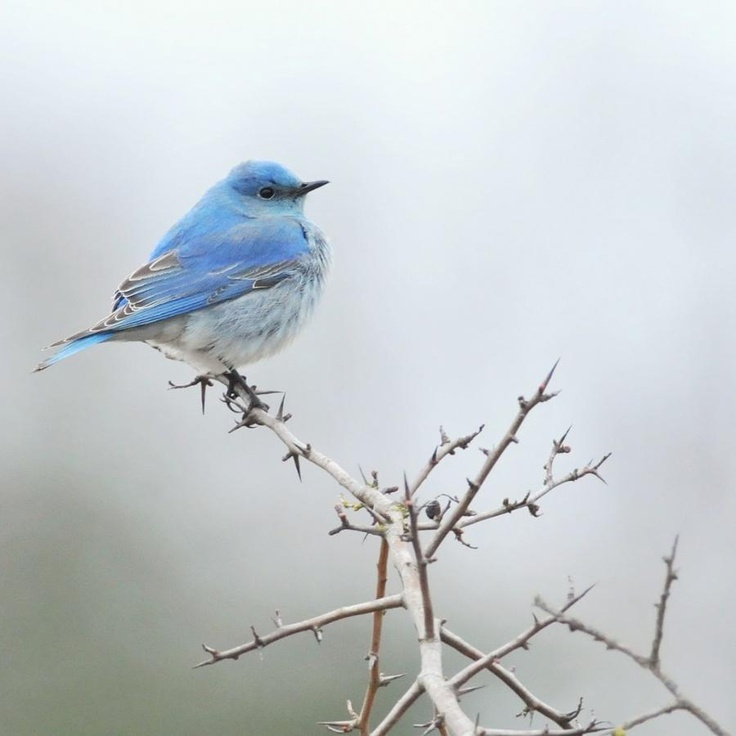 Blue Bird on a White branch 動物, 動物 かわいい, 鳥類