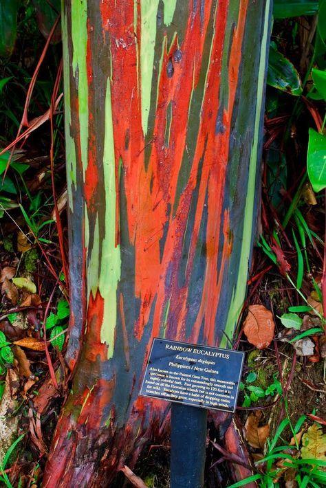paradis express: Eucalyptus Deglupta