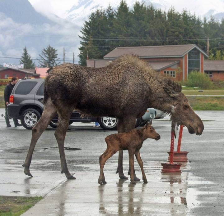 Just The Usual Moose Walking Through Haines Alaska. Photo By Kelly Pankey Lowe