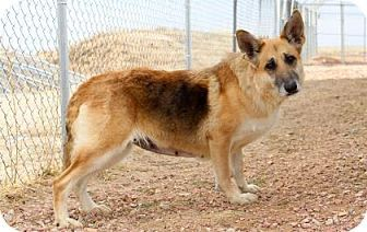 Pictures of Ingrid a German Shepherd Dog for adoption in Colorado Springs, CO who needs a loving home.