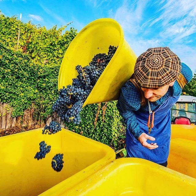 #pinotnoir #domainedelenvol #harvest /// Vins Bio d'Alsace - Domaine de l'Envol - Organic Wine