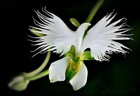 Flor de la paloma