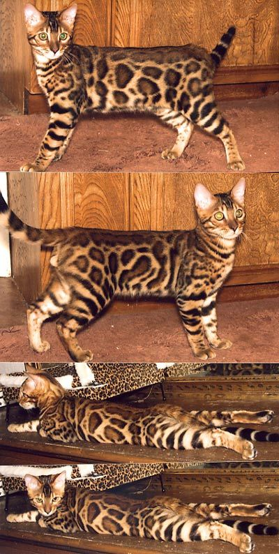 The Bengal cat is a hybrid formed by crossing a domestic feline & an Asian Leopard Cat!
