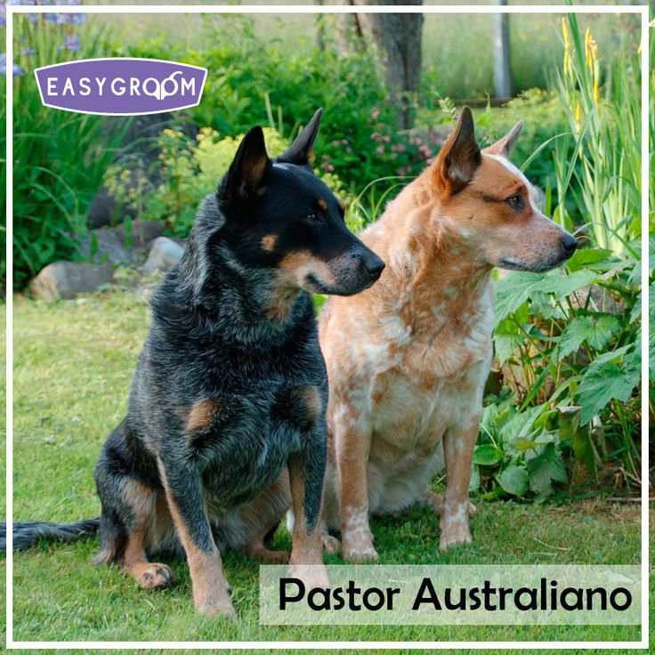 Pastor Australiano #Dog #LargeDogBreed #Raza #Grande #Perro #Canino #EasyGroom #Animal
