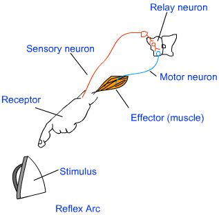 reflex arc diagram 3 way switch wiring multiple lights a all data science pinterest high school biology and hand
