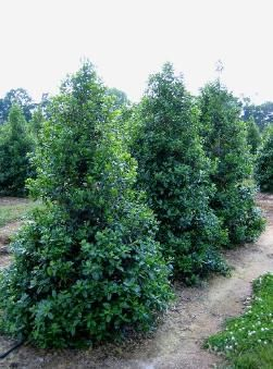 "'Nellie R. Stevens' holly is commonly used as a specimen tree or in a   ""living wall"" privacy screen when planted 4 to 5 feet apart.  The Nellie R Stevens Holly is adapted to many environmental conditions with its   superior level of shade and drought tolerance."