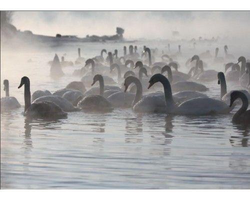 Postcard Swans in the river Andrius Matvejevas