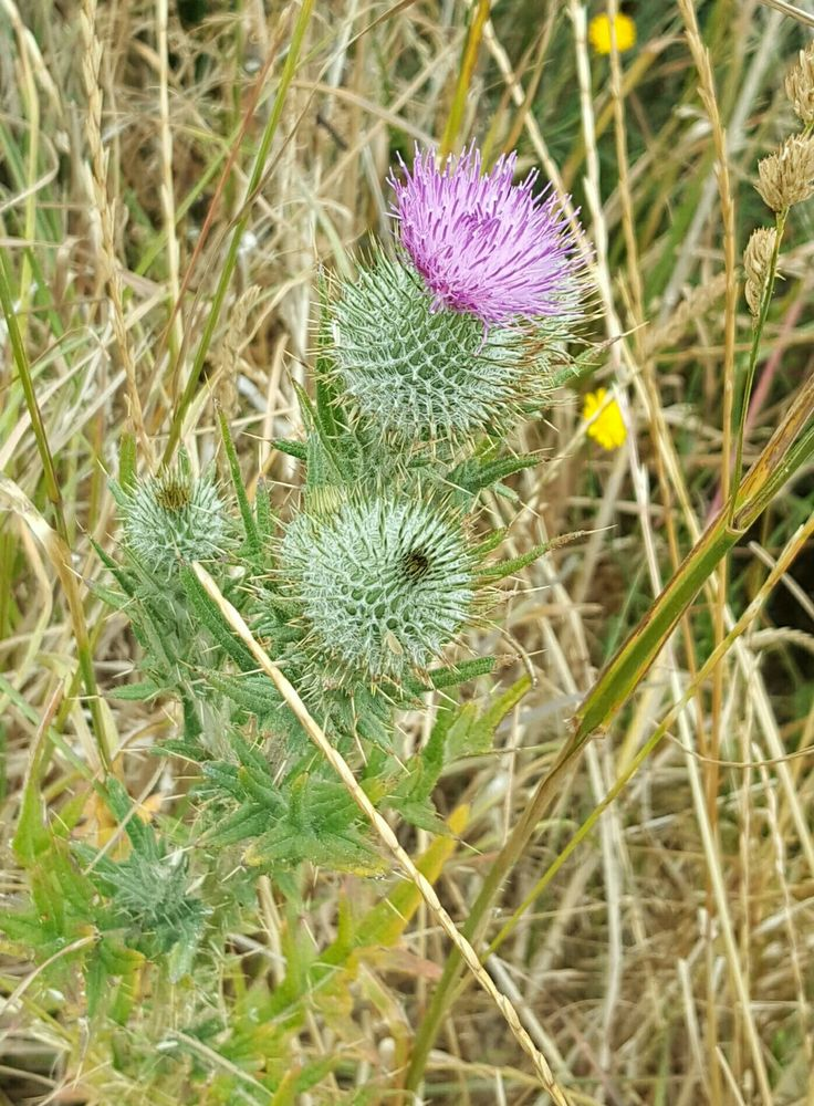 Thistle At Nugget Point Catlins NZ