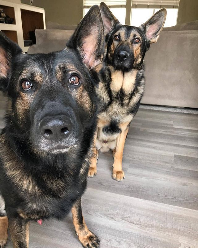 Four Ears Are Better Than Two Noseydogsdetection Germanshepherd