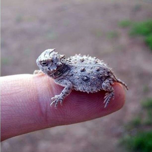 64 Best Texas Lizards Turtles And Frogs Images On