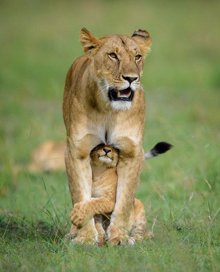 A lion cub desperately wants to play - but mum somehow manages to ignore the playful youngster as she searches for food. British-based wildlife photographer Margot Raggett in Maasai Mara, Kenya.