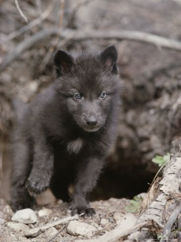 Black and white wolf puppies