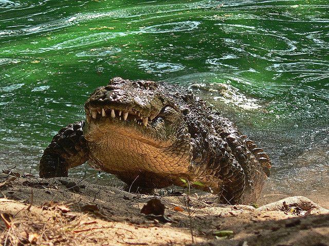 A Mugger Crocodile under water ( Image : Pandiyan V )