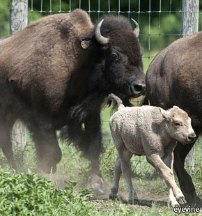 Indian rituals: One in ten million the birth of the rare white bison