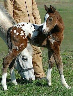 Dark Shadow Dreamer - beautiful 2012 Appaloosa foal