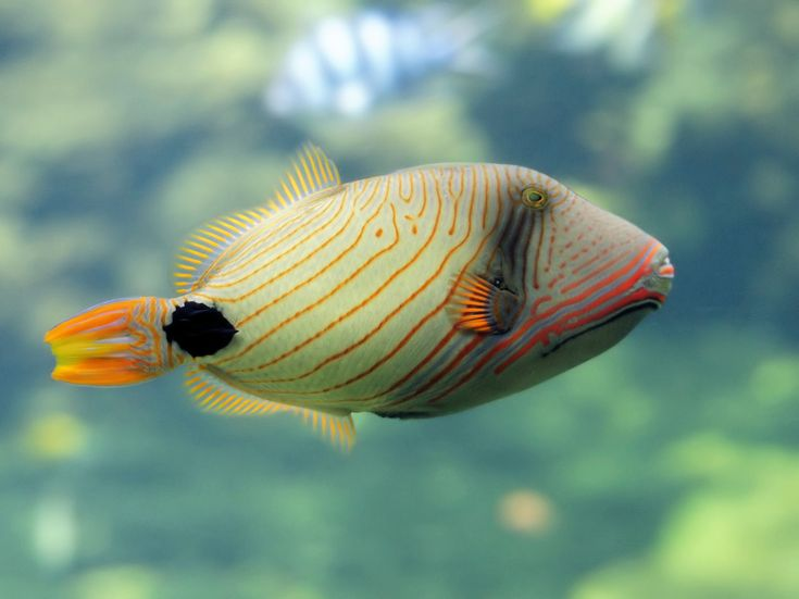 The Orange-Lined Triggerfish (Balistapus undulatus) is a Triggerfish of the tropical Indo-Pacific area. It grows up to 30 cm (12 in) in length and feeds on coral, crabs and invertebrates. Photo: Hans Hillewaert/PLW   -- This  fish seems to be fashion-conscious ... notice an orange line to serve as lipstick