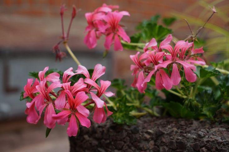 10 Best Plants for Balcony Gardens - Garden Lovers Club Condo Balcony, Balcony Plants, Balcony Garden, Begonia, Petunias, Lush Garden, Cool Plants, Feng Shui, Exterior