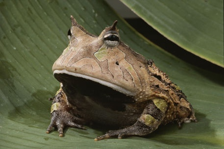 """National Geographic: Portrait of a horned frog."""