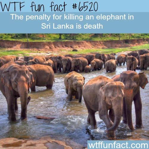 Death penalty for killing an elephant - WTF fun facts