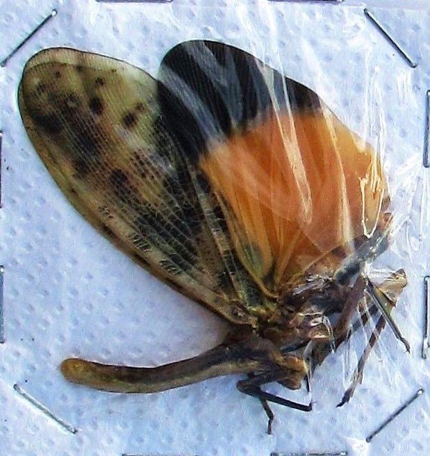 Lot of 10 Brown Orange Wing Planthopper Scamandra sanguiflua Spread FAST USA