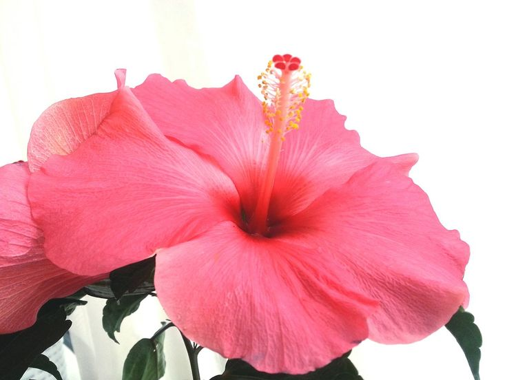 flower, petal, flower head, fragility, beauty in nature, nature, blooming, freshness, plant, hibiscus, growth, pink color, close-up, outdoors, pollen, no people, day, stamen, red, petunia
