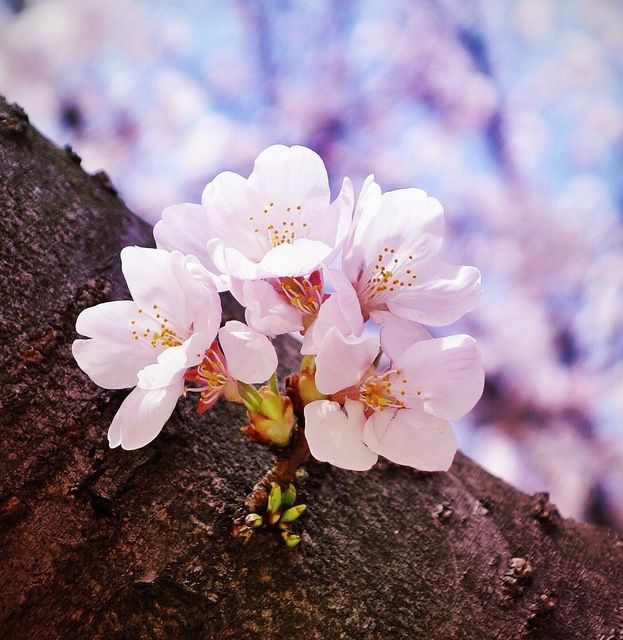 Share from UPLO: 桜 by Stone River