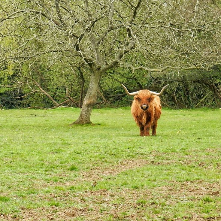 ...and then went to hang out with my new friend. He likes treats languid walks on the moss Eastleigh FC and everything Tartan. He is single GSOH & doesn't mind a bit of fur. . . . #animals #cows #countryside #furryfriend #HighlandCattle #afaceonlyamothercouldlove #Hampshire #eastleigh #quirky #luxuryhotels #farmlife #lookingforlove #LoveGreatBritain #LoveTheWorld #beautifuldestinations #aroundtheworld #photomafia #travelblogger #passionpassport #mytinyatlas #thehappynow #wanderlust #travel…