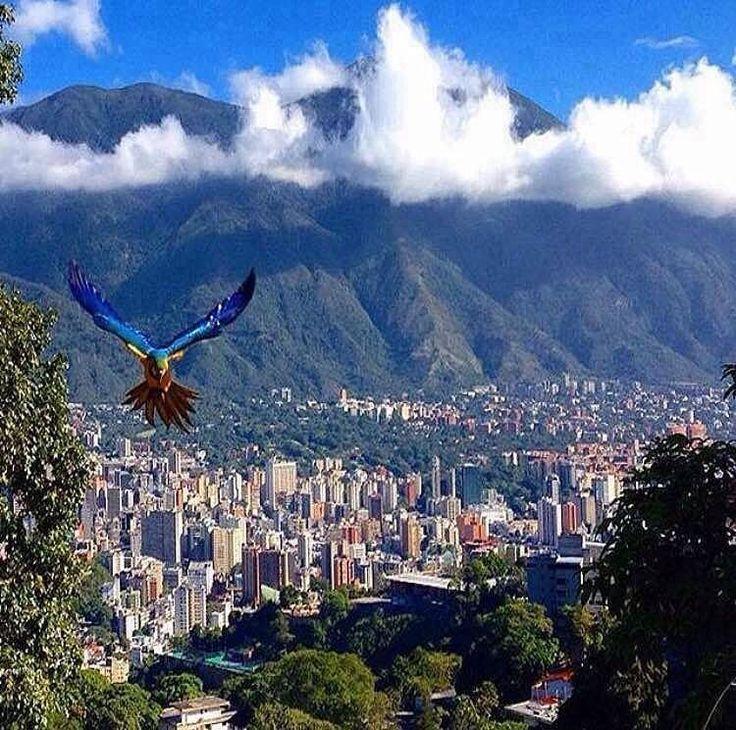 Así te da los buenos días esta ciudad.  El valle de Caracas se caracteriza por ser muy verde árboles por toda la ciudad. Pero tal vez uno de los iconos naturales de nuestra urbe sean las guacamayas azul y amarilla que desde hace algunos años han llegado a nuestra ciudad para quedarse.  Sí tal vez no sabías que esas guacamayas no son propias de Caracas sí de nuestro país pero no corresponden a la zona central. Originalmente se encuentran en el Delta y hacia el sur del país.  En Caracas…