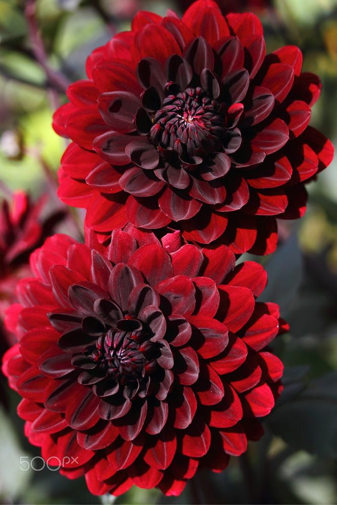 This Is My Favorite Flower A Red Dahlia I Love The Meaning Elegance Inner Strength Creativity Change And Dignity I In 2020 Dahlia Flower Dahlia Colorful Plants
