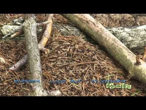 Inspirational bosmier wood ant waldameise skogsmaur formica Looking for broadcast footage