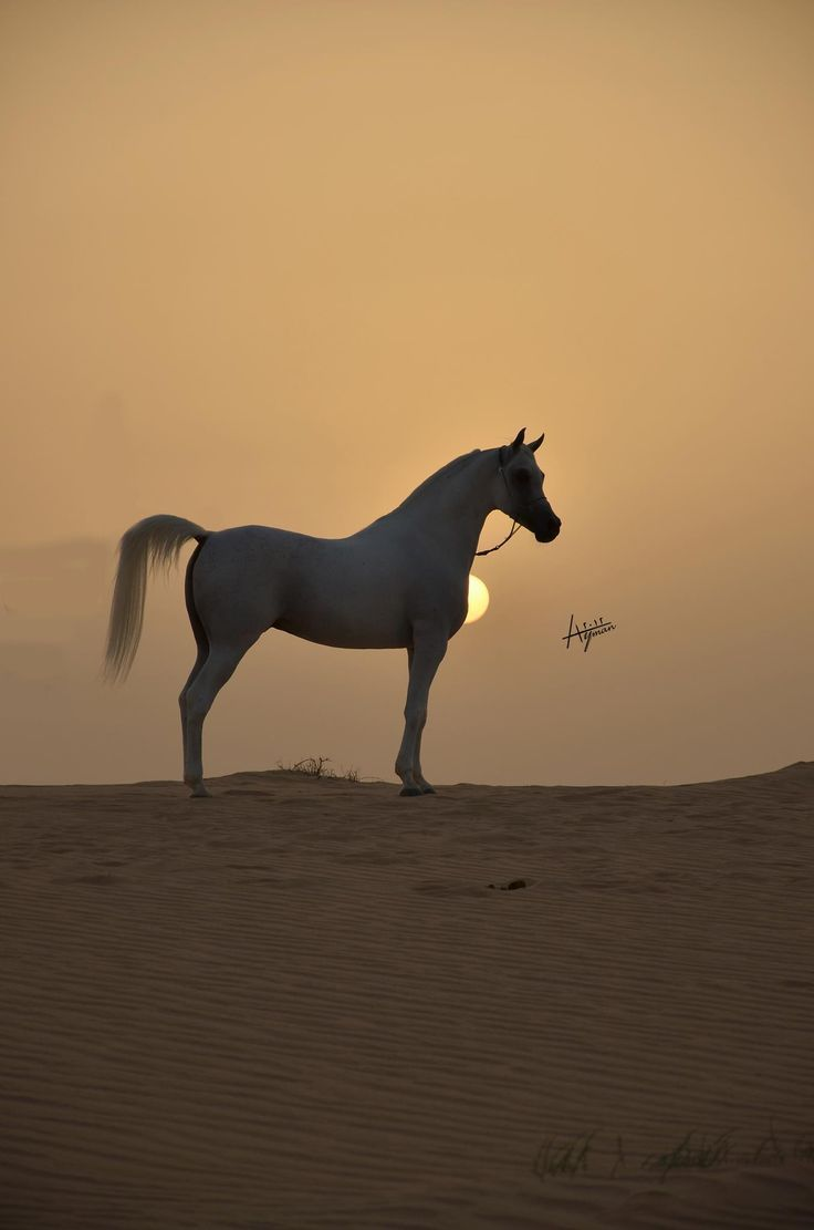 Image result for arabian horse al waab