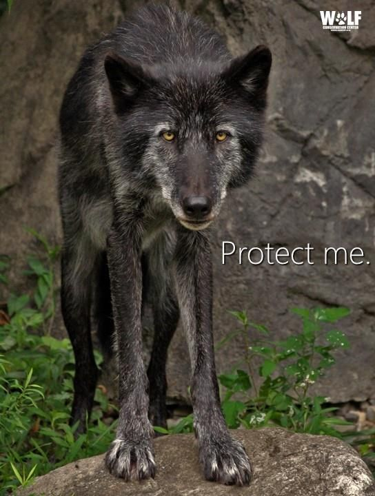 Best 25 wolf population ideas on pinterest gray wolf for Black wolf fish