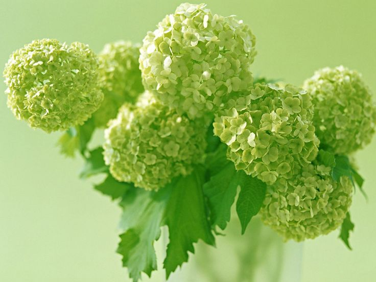 since you are in green-mode - aren't these pretty - hydrangeas ...