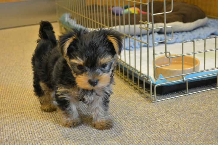 Blind puppy escapes breeder's death sentence for a second chance at #Battersea @bdch #puppy #dogs